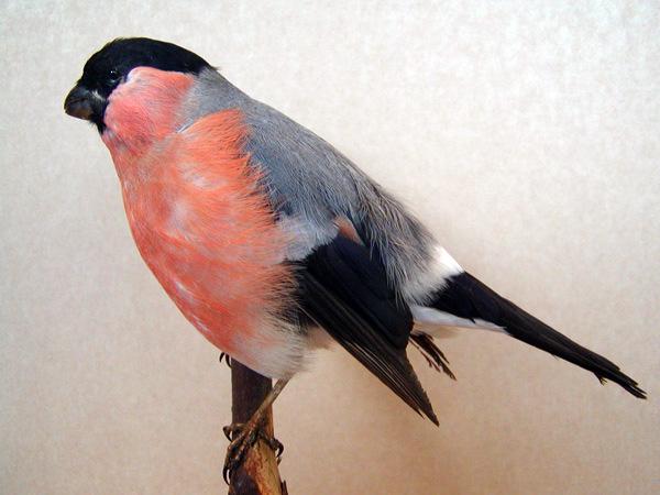 hvad kaldes en fugl der fryser